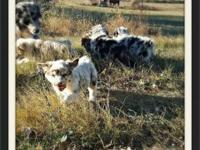 Red merle and blue merle puppies. 8 weeks old first
