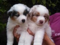Beautiful Australian Shepherd Puppies Champion
