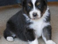 AKC & ASCA Australian Shepherd puppies born 6/29/15.