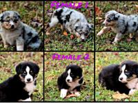 Australian Shepherd Puppies CKC Registered Blue Merle