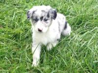 Lovely Australian Shepherd Puppies for Adoption. The
