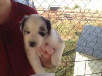 Adorable Australian Shepherd puppies for sale. 3 Blue