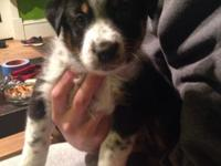 I have 4 Australian Shepherd puppies for sale. They are