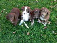 Adorable Australian Shepherd young puppies for sale. 3