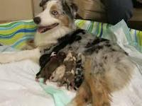 Animal Type: Dogs Breed: Australian Shepherd Aussies
