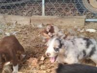 Full blooded Australian Sheppard puppies. MOM IS A