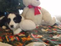 Australian Shepherd Puppies. 8 wks old and prepared to