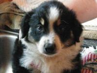 Australian shepherd pups born june 6th, ready for new