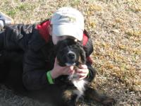 I have 1 male Australian Shepherd, tir-black and, he