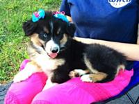I have a female Australian Shepherd young puppy that