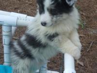 Male Australian Shepherd puppy born 2/5/15. He is very