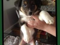 We have 1 Aussie puppy. Full blooded with papers, tails