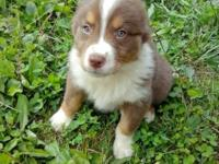 8 week old aussie puppy. Female, red tri available. She