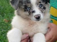 BEAUTIFUL AUSTRALIAN SHEPHERD PUPPY. Standard size.