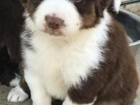 Purebred Australian Shepherd puppies for sale. Reds and