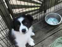 AKC reg black and white female. Mellow and sweet, Vet