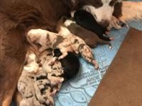 New litter of beautiful pups. Gentle natured parents,