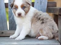 Two red merle males available from our two spring