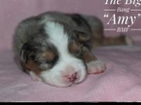 AKC registration available. Gorgeous baby blue Merle