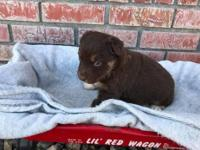 Ruger/Rose, red tri female #1, born on 2/16/18 and