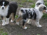 AKC/ASCA...Pups will be ready for new home