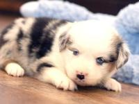 Meet Julep! Adorable little blue merle female with