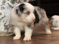 Meet Jester! Gorgeous blue merle with copper points,