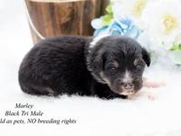 Black Tri Male Standard Australian Shepherd. Will be