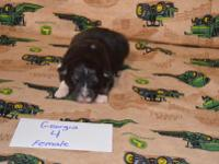 Akc Black Tri Female Please visit our website for more