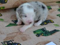 Akc Blue Merle Male Please visit our website for more