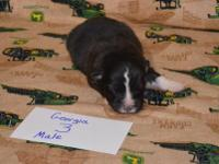 Akc Black Tri Male Please visit our website for more