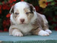 This is a beautiful puppy. Red Merle Boy with blue