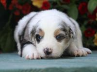 This is a beautiful puppy. Blue Merle Boy with blue