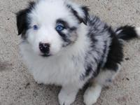 Blue merle male blue eyes. Has full tail. Raised