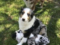 AKC Registered Australian Shepherd puppy, male