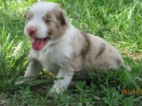 This red merle aussie is an adorable girl with good
