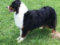 Diesel very nice tri Both parents genetic testing Pet