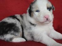 GORGEOUS BLUE MERLE FEMALE WITH 2 BLUE EYES AND FULL