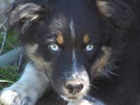 ASCA/AKC registerable black tri male with 2 blue eyes.
