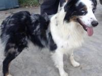 Frost is a gorgeous Blue Merle male with blue eyes. He