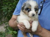 Brody is a gorgeous Blue Merle male with blue eyes. He