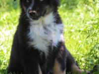 ASCA/AKC black tri male with 2 blue eyes. Both parents
