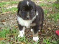 CKC australian shepherd puppy , male black tri. He is a