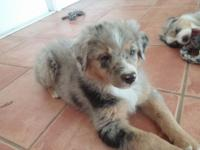 I have only 1 left out of our litter. One Blue Merle