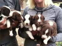 Red tri shots and worming. Born Sept.25 $550-$600