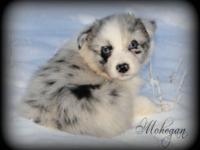 Barr T Ranch Australian Shepherds. Merle pups have