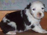 We have Australian Shepherd pups available. They are