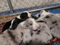 3 female blue merle dogs. 2 male black and white