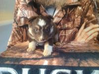 AKC/ASCA registered puppies, family raised,