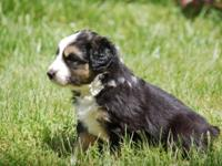 Australian Shepherd Pups - farm raised, adorable, ready